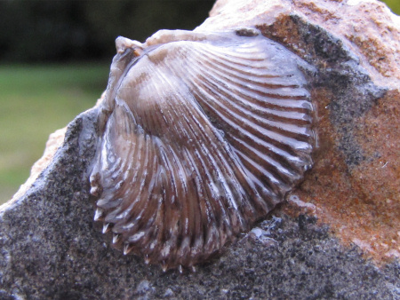 Fossil brachiopod coated with varnish not recommended