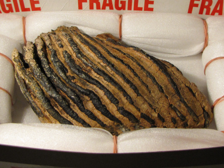 Carefully prepared fossil mammoth tooth from Colne Quarry