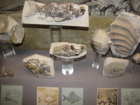Chalk fossils on display in the Booth Museum in Brighton