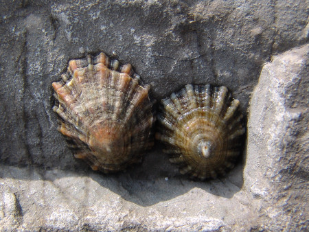 Living limpets awaiting the incoming tide on a rock