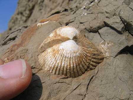 Fossil bivalve shell at Alum Bay