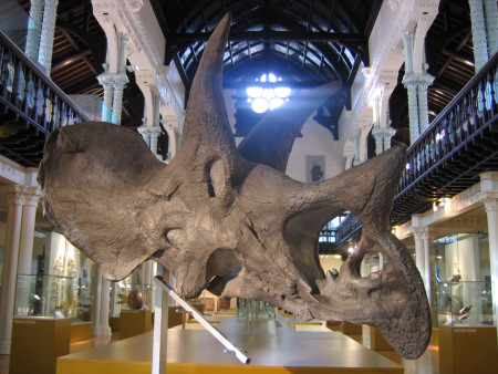 Triceratops skull at the Hunterian Museum in Glasgow