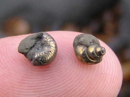 Pyritised fossil gastropod and ammonite from Seatown