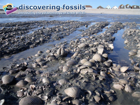 Bracklesham Bay fossil bivales wallpaper
