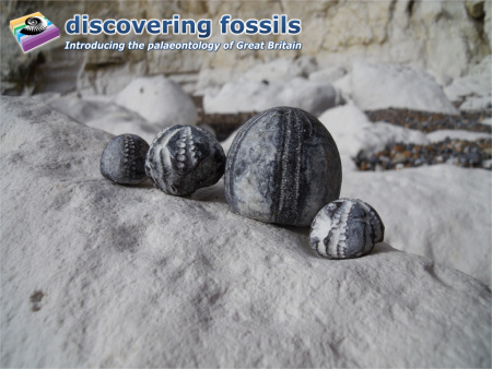 Fossil flint echinoids wallpaper